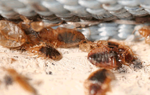 bed bug control pico rivera